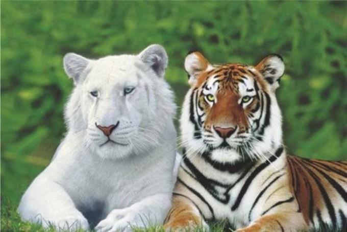 hổ bengal bangladesh