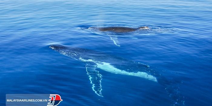 Cá voi lưng gù ở đảo Fraser