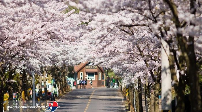 Hoa anh đào ở Jeju